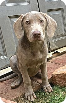 Weimaraner Puppy for adoption in Carlsbad, California - Shelby