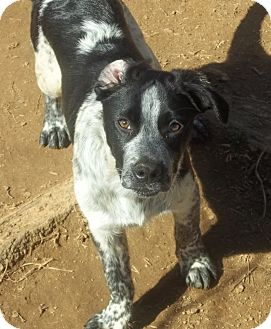 Bluetick Coonhound Mix Dog for adoption in East Hartford, Connecticut - Finn Meet me 3/18