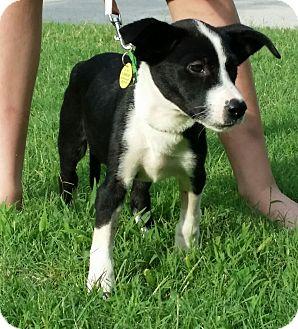 Labrador Retriever/Australian Shepherd Mix Puppy for adoption in Austin, Texas - Puppy Laguna