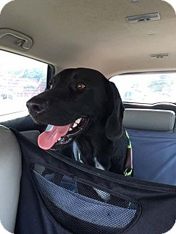 Labrador Retriever Mix Dog for adoption in Fort Atkinson, Wisconsin - Rudy