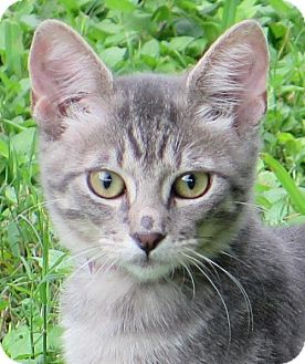 Domestic Shorthair Cat for adoption in Gonzales, Texas - Jamey