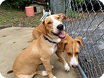 Corgi/Labrador Retriever Mix Puppy for adoption in Beacon, New York - Woodstock