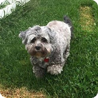 Poodle (Miniature) Mix Dog for adoption in Janesville, Wisconsin - Rosie