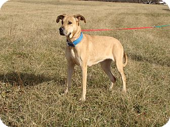 Great Dane Mix Dog for adoption in Cameron, Missouri - Aspen