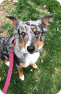 Border Collie Mix Dog for adoption in Allen, Texas - Sula