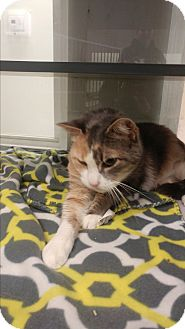 Calico Cat for adoption in Walden, New York - Knight