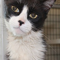 Adopt A Pet :: Smudge - Saranac Lake, NY