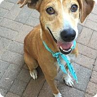 Labrador Retriever Mix Dog for adoption in Stamford, Connecticut - A - MONKEY