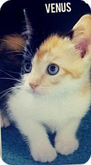 Calico Kitten for adoption in Trevose, Pennsylvania - Venus