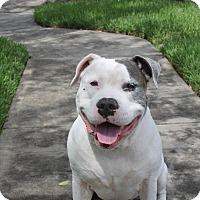 Adopt A Pet :: Cain - New Smyrna Beach, FL