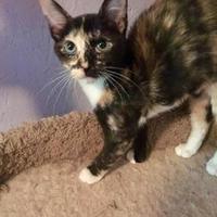 Adopt A Pet :: Harlequin (Kit 2 042117) - McDonough, GA