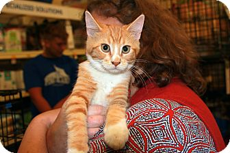 Domestic Shorthair Kitten for adoption in Rochester, Minnesota - Bok Choy