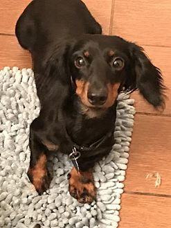 Dachshund Dog for adoption in Pearland, Texas - Louey