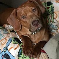 Adopt A Pet :: Clifford - Richmond, VA