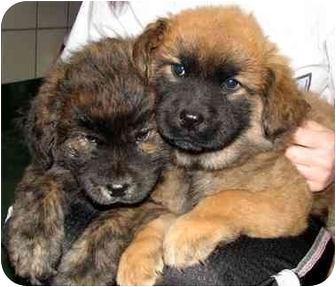 Chow Chow/Shepherd (Unknown Type) Mix Puppy for adoption in Peachtree City, Georgia - Puppies!