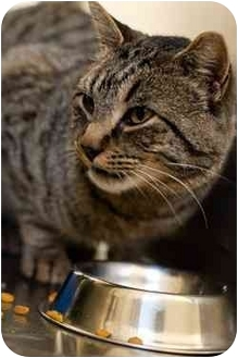 Domestic Shorthair Cat for adoption in Westbrook, Maine - Stanley
