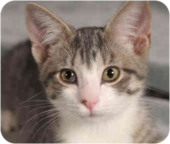 Domestic Shorthair Kitten for adoption in Chicago, Illinois - Eleanor