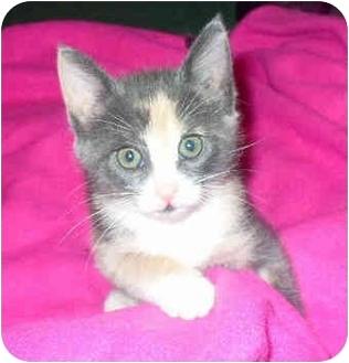 Calico Kitten for adoption in Mississauga, Ontario - Baby