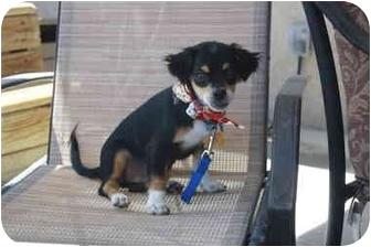 Chihuahua/Pug Mix Puppy for adoption in California City, California - Julius