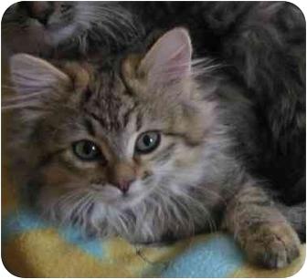 Domestic Longhair Kitten for adoption in Byron Center, Michigan - LaLa