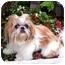 Photo 3 - Shih Tzu Puppy for adoption in Los Angeles, California - PIPER