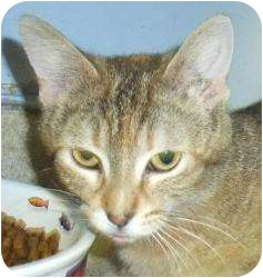 Domestic Shorthair Cat for adoption in Chicago, Illinois - Goosey