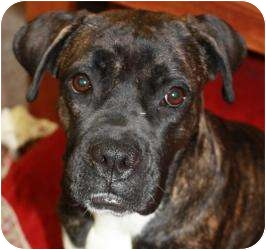 Boxer Mix Dog for adoption in Belleville, Illinois - Martha