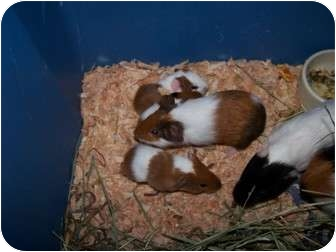 Guinea Pig for adoption in Quilcene, Washington - Baby G-Pigs