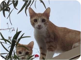 Domestic Shorthair Cat for adoption in Scottsdale, Arizona - Rex