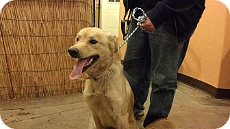 Golden Retriever Mix Dog for adoption in Windham, New Hampshire - Caramel