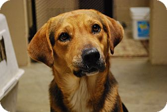 Beagle/Shepherd (Unknown Type) Mix Dog for adoption in Waterbury, Connecticut - Hummer