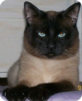 Siamese Cat for adoption in San Luis Obispo, California - Mr.Bigglesworth & Harpo