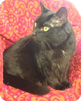 Domestic Shorthair Cat for adoption in Knoxville, Tennessee - Sofia J