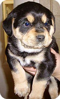 German Shepherd Dog/Rottweiler Mix Puppy for adoption in Oswego, Illinois - Cutie Pie (1M)