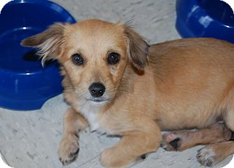 Norfolk Terrier Mix Puppy for adoption in Hainesville, Illinois - Sheldon