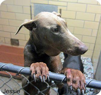 Doberman Pinscher Mix Dog for adoption in Sidney, Ohio - Jessie