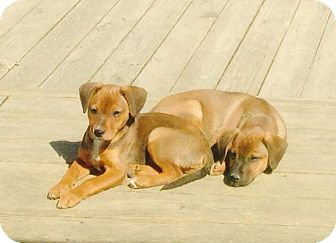 Beagle Mix Puppy for adoption in Lexington, Kentucky - Gus/Walt