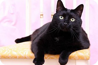 Colorpoint Shorthair Cat for adoption in Sterling Heights, Michigan - Sophie-ADOPTED