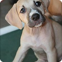 Adopt A Pet :: AUDREY - Plano, TX