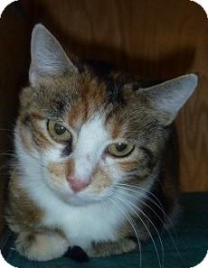 Domestic Shorthair Cat for adoption in Hamburg, New York - Saffron