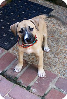 Mastiff/Labrador Retriever Mix Puppy for adoption in MILWAUKEE, Wisconsin - GINGER