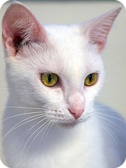 Domestic Shorthair Cat for adoption in Knoxville, Tennessee - Snow