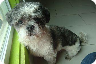 Shih Tzu Mix Dog for adoption in Philadelphia, Pennsylvania - Fluffy
