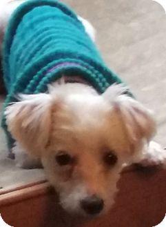 Maltese/Poodle (Miniature) Mix Dog for adoption in Arcadia, California - Mr. Peepers