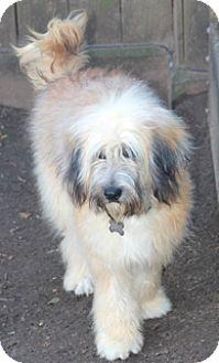 Wheaten Terrier Mix Dog for adoption in Norwalk, Connecticut - Huffington-adoption pending