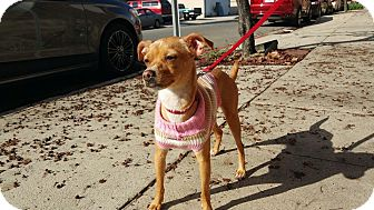 Chihuahua/Greyhound Mix Dog for adoption in Los Angeles, California - Ginger