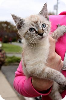 Domestic Shorthair Kitten for adoption in Cool Ridge, West Virginia - Winter