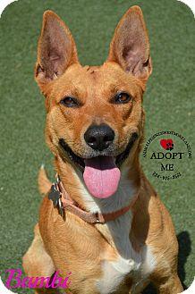 Shepherd (Unknown Type)/Labrador Retriever Mix Dog for adoption in Youngwood, Pennsylvania - Bambi
