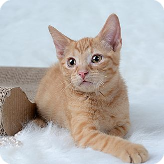 Domestic Shorthair Kitten for adoption in Wilmington, Delaware - Guppy