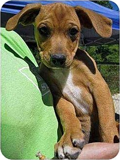 Boxer/Jack Russell Terrier Mix Puppy for adoption in Portland, Maine - Logan